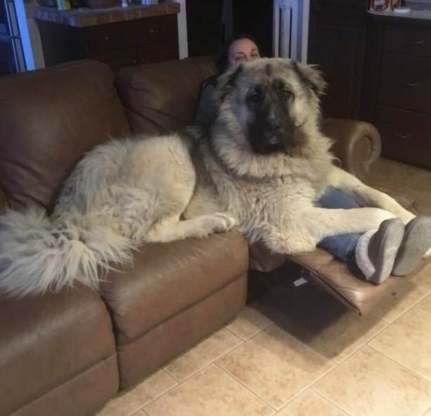 Caucasian Mountain Shepherd For Sale >> Caucasian Shepherds Canada Canadian Breeder Of Caucasian