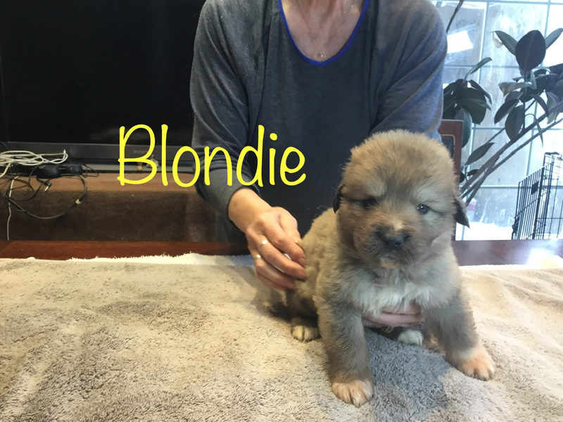Blondie 4 weeks